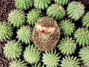Camouflaged-hedgehog